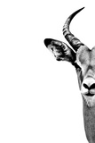 Safari Profile Collection - Antelope Face White Edition Photographic Print by Philippe Hugonnard