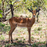 Awesome South Africa Collection Square - Young Impala Portrait Photographic Print by Philippe Hugonnard