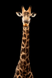 Safari Profile Collection - Giraffe Black Edition VII Photographic Print by Philippe Hugonnard