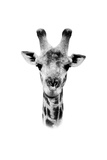 Safari Profile Collection - Portrait of Giraffe White Edition II Photographic Print by Philippe Hugonnard