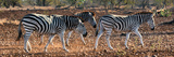 Awesome South Africa Collection Panoramic - Three Zebra II Photographic Print by Philippe Hugonnard