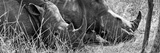 Awesome South Africa Collection Panoramic - White Rhinos Sleeping B&W Photographic Print by Philippe Hugonnard
