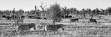 Awesome South Africa Collection Panoramic - Herd of Burchell's Zebras II B&W Photographic Print by Philippe Hugonnard