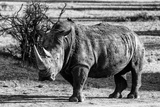 Awesome South Africa Collection B&W - White Rhinoceros Photographic Print by Philippe Hugonnard