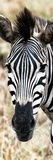 Awesome South Africa Collection Panoramic - Close-up Zebra Portrait Photographic Print by Philippe Hugonnard