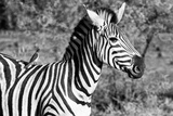 Awesome South Africa Collection B&W - Burchell's Zebra with Oxpecker III Photographic Print by Philippe Hugonnard