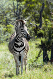 Awesome South Africa Collection - Burchell's Zebra I Photographic Print by Philippe Hugonnard