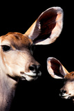 Safari Profile Collection - Antelope and Baby Black Edition V Photographic Print by Philippe Hugonnard