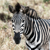 Awesome South Africa Collection Square - Burchell's Zebra Portrait II Photographic Print by Philippe Hugonnard