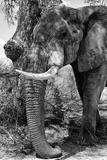 Awesome South Africa Collection B&W - Elephant Portrait I Photographic Print by Philippe Hugonnard