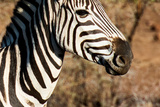 Awesome South Africa Collection - Close-up of Eye of Plains Zebra Photographic Print by Philippe Hugonnard