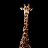 Safari Profile Collection - Giraffe Black Edition V Photographic Print by Philippe Hugonnard