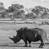 Awesome South Africa Collection Square - Rhinoceros in Savanna Photographic Print by Philippe Hugonnard