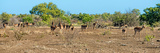 Awesome South Africa Collection Panoramic - Herd of Impalas Photographic Print by Philippe Hugonnard