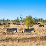 Awesome South Africa Collection Square - Herd of Zebra Photographic Print by Philippe Hugonnard