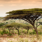 Awesome South Africa Collection Square - Umbrella Acacia Tree at Sunset Photographic Print by Philippe Hugonnard