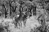 Awesome South Africa Collection B&W - Two Zebras Photographic Print by Philippe Hugonnard