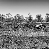 Awesome South Africa Collection Square - Three Zebras walking Photographic Print by Philippe Hugonnard