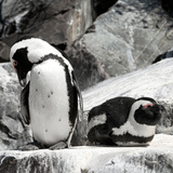 Awesome South Africa Collection Square - African Penguin II Photographic Print by Philippe Hugonnard