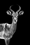 Safari Profile Collection - Antelope Black Edition Photographic Print by Philippe Hugonnard