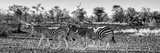 Awesome South Africa Collection Panoramic - Three Zebra B&W Photographic Print by Philippe Hugonnard