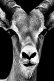 Safari Profile Collection - Portrait of Antelope Black Edition Fotografisk tryk af Philippe Hugonnard