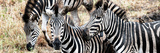 Awesome South Africa Collection Panoramic - Three Burchell's Zebra Photographic Print by Philippe Hugonnard
