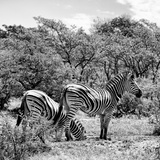 Awesome South Africa Collection Square - Two Burchell's Zebras II B&W Photographic Print by Philippe Hugonnard