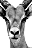 Safari Profile Collection - Portrait of Antelope White Edition Photographic Print by Philippe Hugonnard