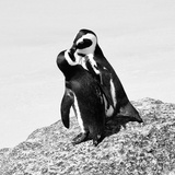 Awesome South Africa Collection Square - Penguin Lovers II B&W Photographic Print by Philippe Hugonnard