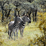 Awesome South Africa Collection Square - Two Common Zebras Photographic Print by Philippe Hugonnard