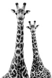 Safari Profile Collection - Two Giraffes White Edition II Photographic Print by Philippe Hugonnard