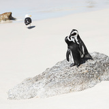 Awesome South Africa Collection Square - Penguin Lovers Photographic Print by Philippe Hugonnard