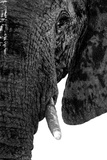 Safari Profile Collection - Portrait of Elephant White Edition Photographic Print by Philippe Hugonnard