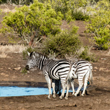 Awesome South Africa Collection Square - Two Burchell's Zebras III Photographic Print by Philippe Hugonnard