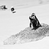 Awesome South Africa Collection Square - Penguin Lovers B&W Photographic Print by Philippe Hugonnard