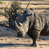 Awesome South Africa Collection Square - Portrait of a Rhinoceros at Sunset Photographic Print by Philippe Hugonnard