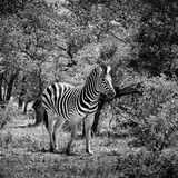 Awesome South Africa Collection Square - Burchell's Zebra II B&W Photographic Print by Philippe Hugonnard