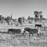 Awesome South Africa Collection Square - Plains Zebras B&W Photographic Print by Philippe Hugonnard