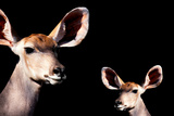 Safari Profile Collection - Antelope and Baby Black Edition Photographic Print by Philippe Hugonnard