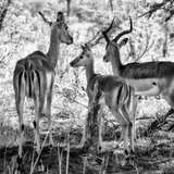 Awesome South Africa Collection Square - Impala Family B&W Photographic Print by Philippe Hugonnard