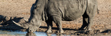 Awesome South Africa Collection Panoramic - Black Rhinoceros Photographic Print by Philippe Hugonnard