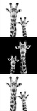 Safari Profile Collection - Two Giraffes IV Photographic Print by Philippe Hugonnard