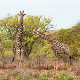 Awesome South Africa Collection Square - Look Giraffes Photographic Print by Philippe Hugonnard