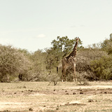 Awesome South Africa Collection Square - Giraffes in Savannah III Photographic Print by Philippe Hugonnard