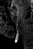 Safari Profile Collection - Portrait of Elephant Black Edition Photographic Print by Philippe Hugonnard