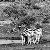 Awesome South Africa Collection Square - Two Burchell's Zebras III B&W Photographic Print by Philippe Hugonnard