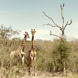 Awesome South Africa Collection Square - Giraffes in Savannah II Photographic Print by Philippe Hugonnard