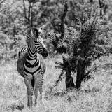 Awesome South Africa Collection Square - Burchell's Zebra B&W Photographic Print by Philippe Hugonnard