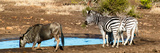 Awesome South Africa Collection Panoramic - Blue Wildebeest and Two Burchell's Zebra Photographic Print by Philippe Hugonnard